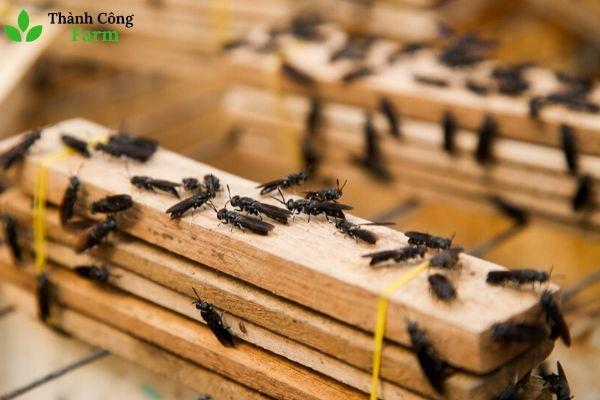 Dụng cụ lấy trứng ruồi lính đen